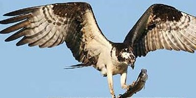 Photograph of Osprey on Cape Cod with a captured fish.
